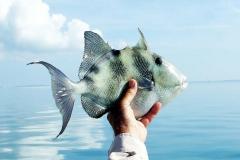 triggerfish2